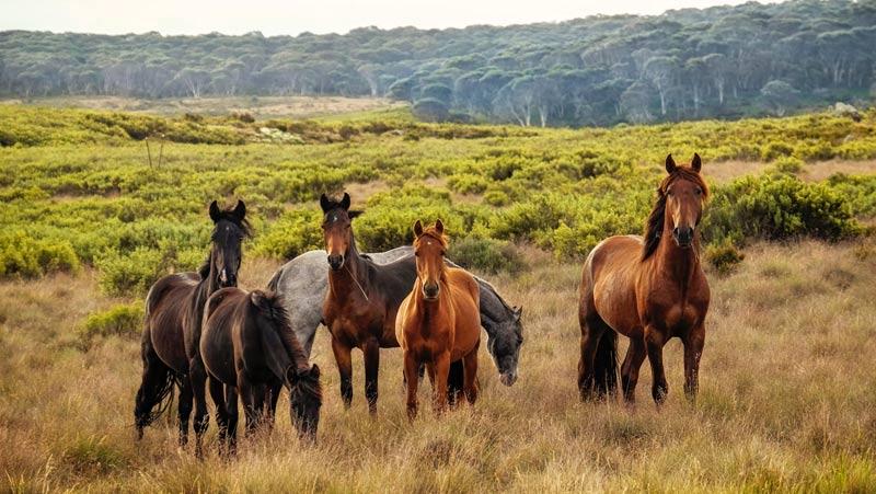 Wild horses in the Snowy Mountains, Kosciuszko National Park, Australia.