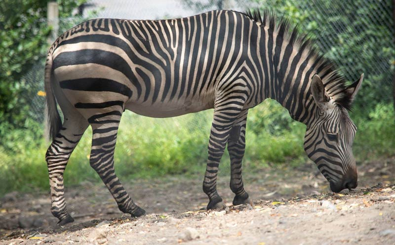 One of Utica Zoo's Hartmann's mountain zebra stallions.