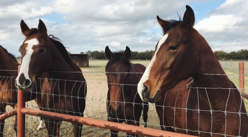 The Senate passed a trillion-dollar infrastructure bill without any provision to ban the export of slaughter horses, putting in jeopardy the anti-slaughter provision comfortably adopted more than a month ago in the House by a voice vote.