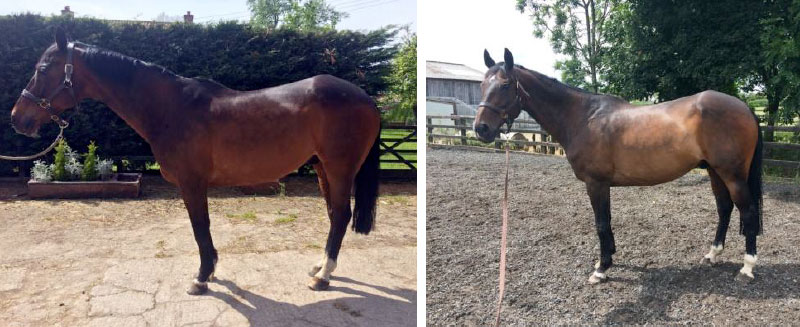 The picture at left shows another case of Musculoskeletal Postural Imbalance, with the front legs camped under the horse, taking pressure off the heels: Such a flat footed stance means caudal heel pain, and his shoulder and neck were tight and tense. His back is tight; loins are hard, and the pelvis misaligned. The second image, shown 12 weeks later, follows reiki, massage and corrective exercise and results in a transformed, happier horse.
