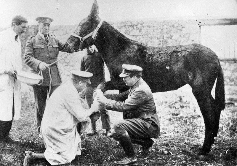 A mule getting treatment at a Blue Cross hospital.