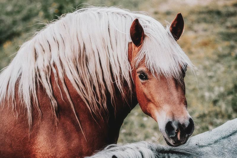 """Evidence that genetics influence the development of equine obesity comes from the recognition that breed and """"type"""" are clear risk factors, with ponies at highest risk, followed by cob type breeds."""