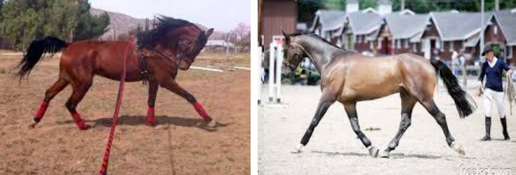 Encouraging the horse to stretch, supple, and strengthen properly, over a period of time allows for healthy development and the horse's posture can change.