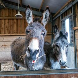 The annual Carols by Candlelight service will be held virtually this year. © The Donkey Sanctuary