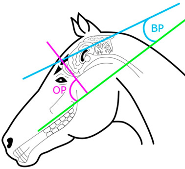Diagram of brain measurements on horse (n = 14) and donkey (n = 16) skulls. The olfactory pitch (OP) was measured as the angle between the hard palate (green line) and the longitudinal axis of the olfactory bulb (purple line). The brain pitch (BP) was measured as the angle between the hard palate and the longitudinal axis of the brain (blue line).