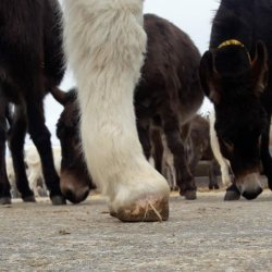 Casey's front hooves before treatment, which started when he was just two months old. © The Donkey Sanctuary