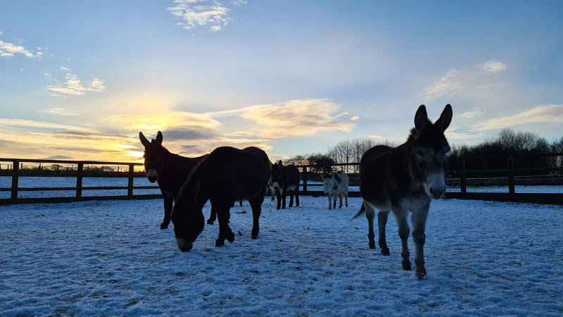 Donkeys in the snow at the Eccup centre, near Leeds.