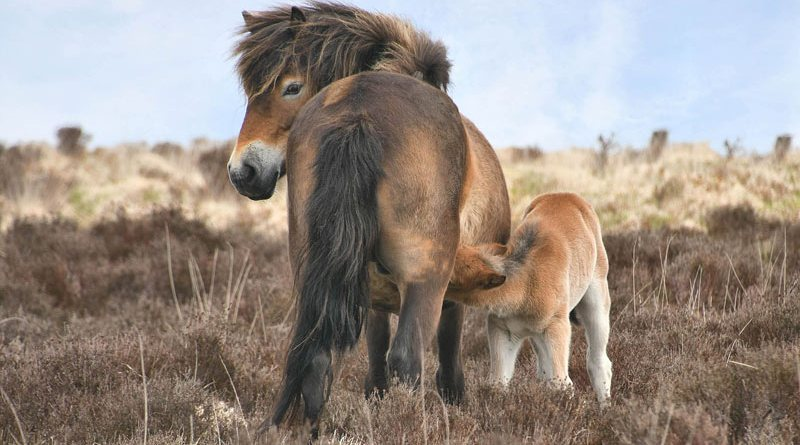 A mare and foal on Exmoor.