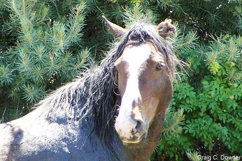 A band leader stallion from the Northern Pine Nut Mountains HMA.