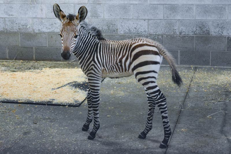 An auction is being held to name Racine Zoo's new Hartmann's mountain zebra foal.
