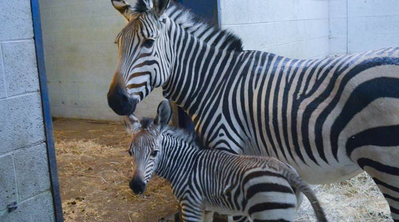 Racine Zoo's new Hartmann's mountain zebra foal with his mum, Promise.