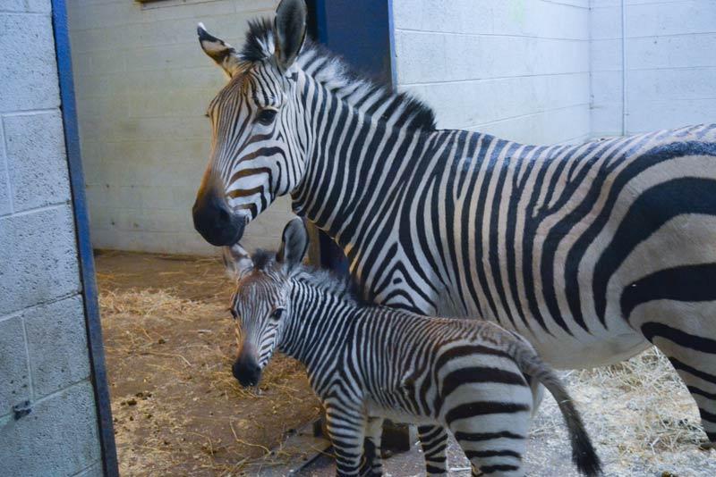 Racine Zoo's new Hartmann's mountain zebra foal with his mum, Promise.