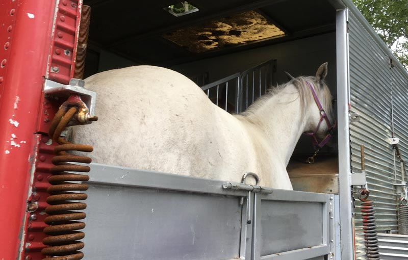 Problem behaviors were reported by 14.45% of the 148 respondents in an Italilan study on equine transportation.