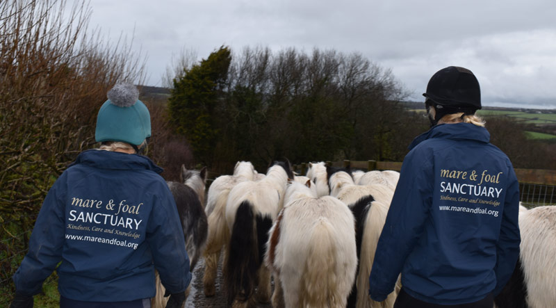 The 15 young colts signed over to The Mare and Foal Sanctuary were kept together as a herd after their rescue.