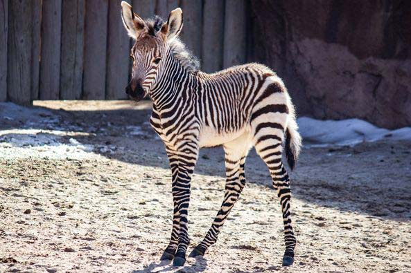 Zion is the latest Hartmann's mountain zebra foal to be born at Hogle Zoo in Utah.