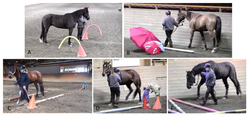 Handling test, showing different horses (fitted with a regular halter including HR equipment) passing five stations with novel objects while being led by a handler.