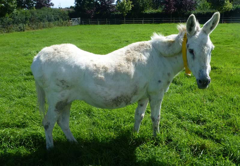Equine obesity is a growing problem around the world.