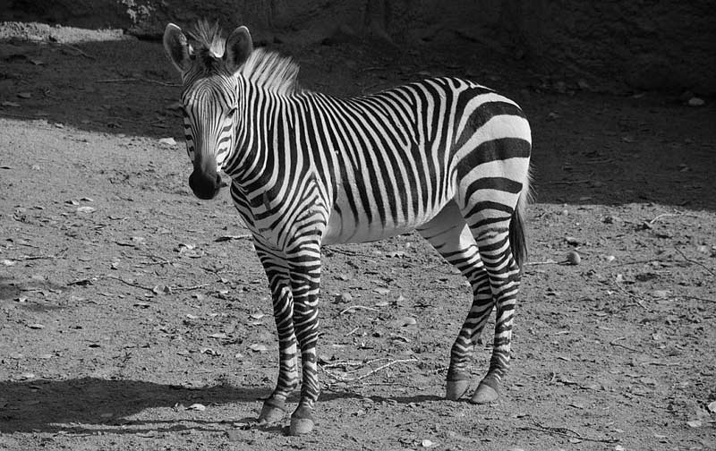 Six-year-old Hartmann's mountain zebra mare Grenade died in late February.