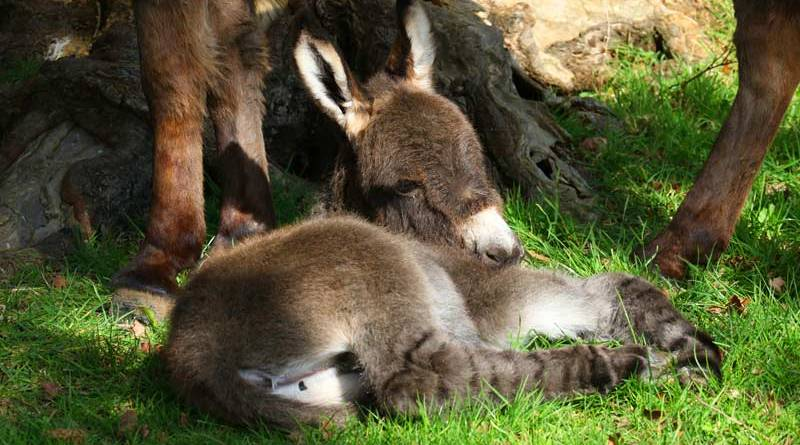 It's hard work being a foal: The new arrival takes a break.