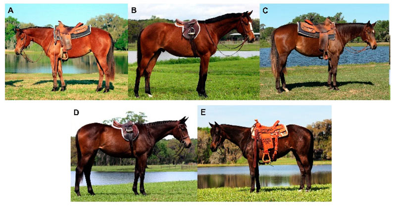 Quarter horses illustrating the diversity in shade of bay coat colour, quantified as a ranking within the 129 sampled individuals.