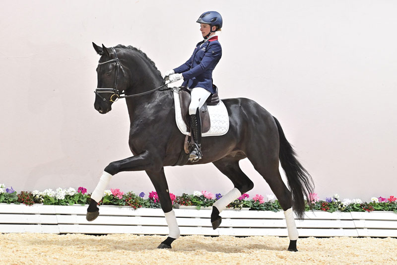 Splendid (San Amour I) sold for a record €515,000 at the Oldenburg Spring Elite Auction, and was also champion stallion of 10th Oldenburg Saddle Licensing.