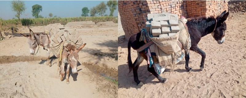 Brick kiln donkeys involved in the transportation of bricks in southern Punjab, Pakistan.