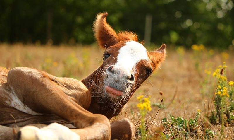 Dr Diego Gomez is in the midst of three important studies – two involving fluid therapies for foals and one for colitis in horses.