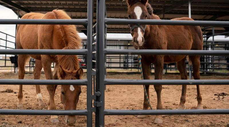 Concerns are growing over off-label use of bisphosphonates within the horse industry. Photo: Laura McKenzie, Texas A&M AgriLife