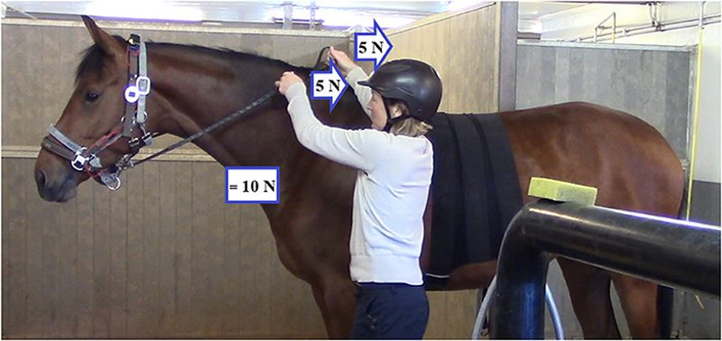The position of the handler during the experiment. To determine the resultant force to which the horse's nose or mouth was subjected, left and right rein tension values were added.
