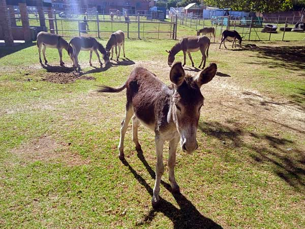 More than 100 donkeys had a lucky escape from death. They are now being looked after by the NSPCA.