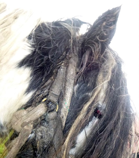 A halter had become embedded in Moses' head.