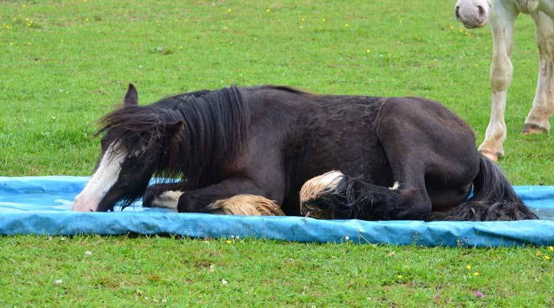 As Mavis demonstrates, some horses may enjoy a cool, shallow water tray designed to safely take the weight of a horse.