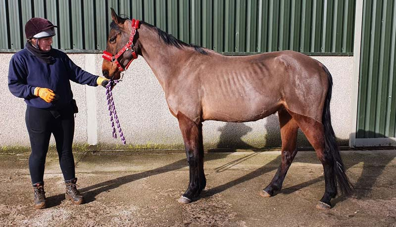 Laddie on arrival at Belwade Farm. His condition was in stark contrast to the pictures the buyer had been sent.