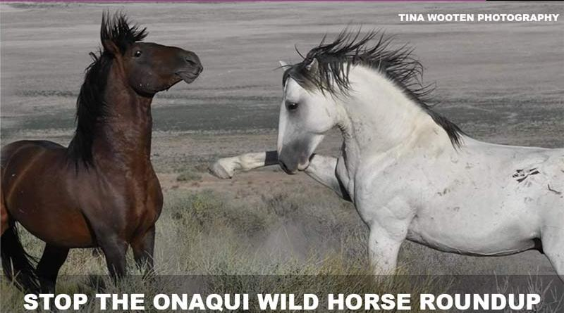 The BLM is rounding up and selling off 400 wild Onaqui mustangs.
