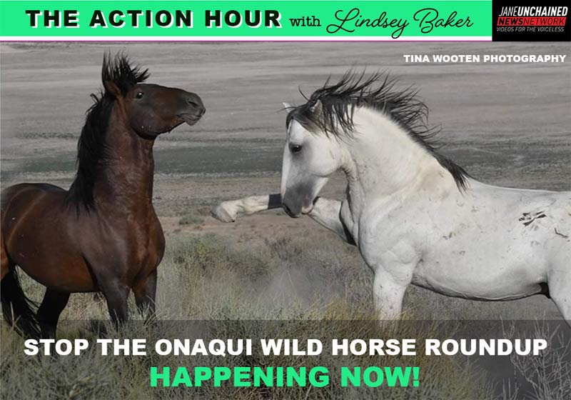 The BLM is planning to round up and sell 400 wild Onaqui mustangs in Utah.