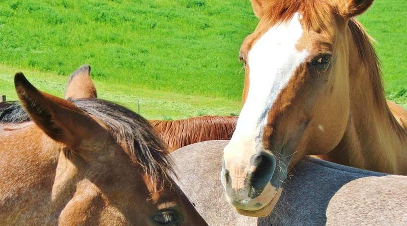 Most commercially fortified feeds contain more omega 6s than omega 3s, which creates an imbalance that can result in elevated inflammation throughout the horse's body.