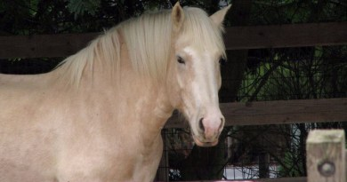 An American Cream Draft Horse