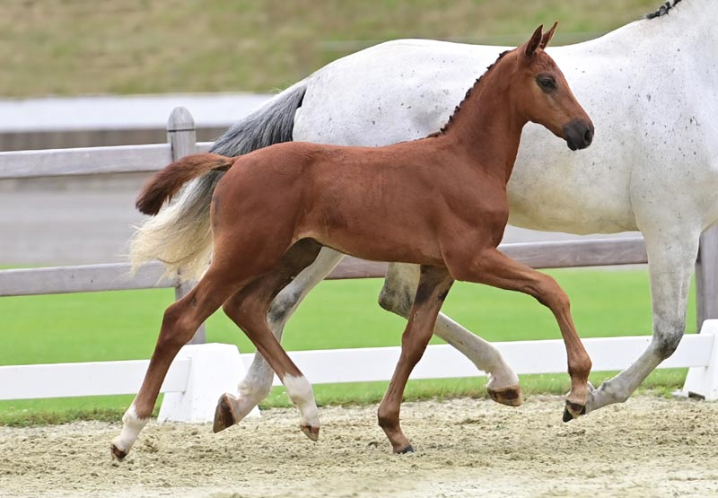 Chicago Blue sold to Sweden for €26,000 at the 22nd Elite Foal Auction in Vechta.