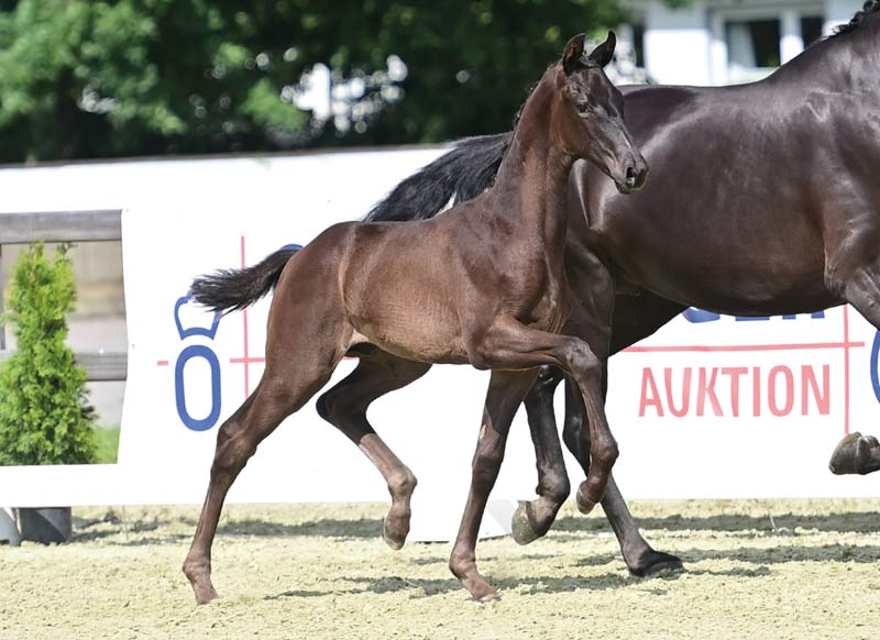 Artist Vermeer sold for €61,000 at the 22nd Elite Foal Auction in Vechta.