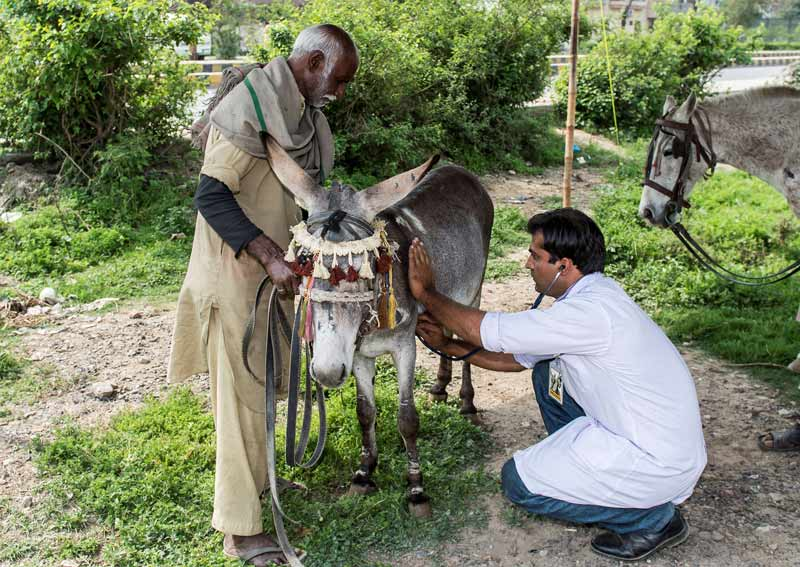 A donkey undergoing a veterinarian check. Largely eradicated from North America, Australia and Europe, there are still sporadic reports of Glanders in several Asian, African, Middle Eastern, and South American countries.