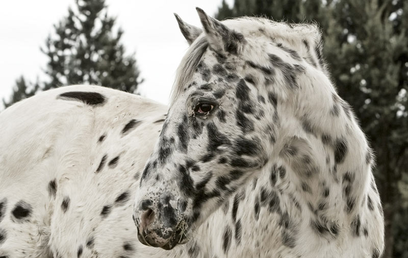 Uveitis in horses with a leopard coat pattern manifests differently, and typically does not appear to be as painful, researchers say.