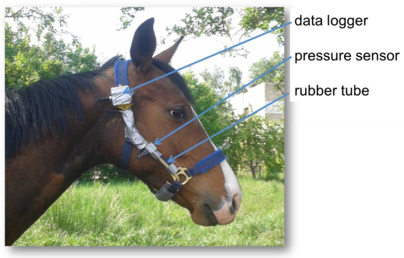 Modified halter equipped with measuring instruments for the detection of chewing parameters.