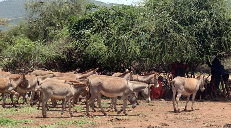 A group of poached donkeys being returned to their owners.