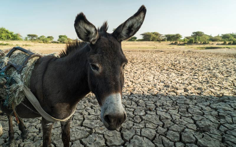 A working donkey in a drought-stricken area of Ethiopia.