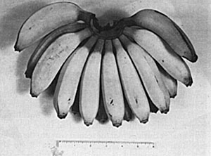 'Radja' banana