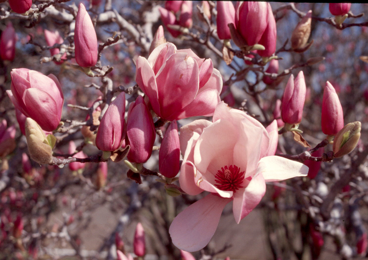 Image result for japanese magnolia