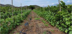 increase density melon crop with HORTOMALLAS