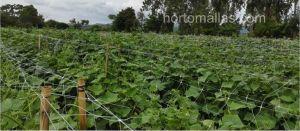 melon plants using crop support net