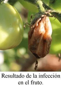 podredumbre blanda tomate