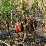cultivo de pimenta com HORTOMALLAS